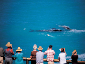 Whale Watching At Head Of Bight - Southport Accommodation