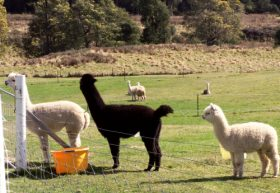 Maydena Country Cabins Accommodation  Alpaca Stud - Southport Accommodation