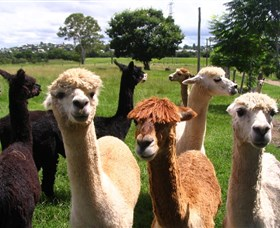 Banyandah Alpacas - Southport Accommodation