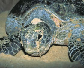 Turtle Nesting Season - Southport Accommodation