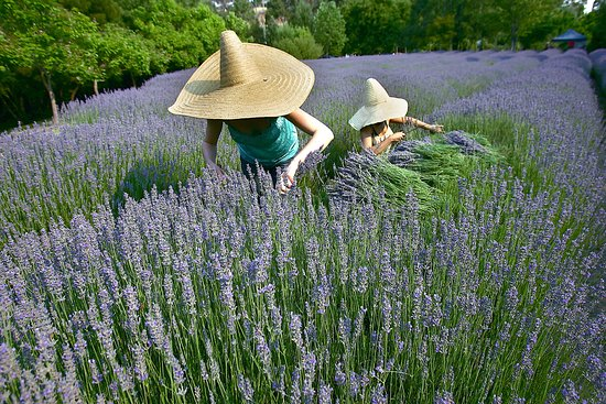 Lavandula Swiss Italian Farm - Southport Accommodation